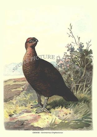 GROUSE - Centrocercus Urophasianus